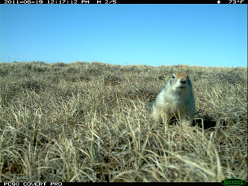 Near the Ikpikpuk River, the most common nest predators are arctic ground squirrels like this one caught by the camera. Photo by: WCS.