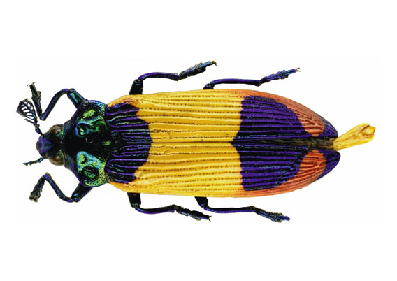 Jewel beetle named, Castiarina shelleybarkerim is only known by a single specimen from Aseki. Photo by: U.Nylander.