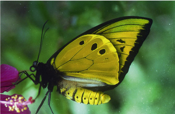 Male of a birdwing (iOrnithoptera chimaera/i in the highland forest of Aseki. Photo: M. Hudson.