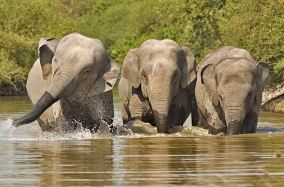 Asian elephants in Cambodia. Photo courtesy of Wildlife Alliance.