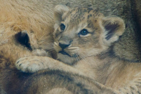 Seven-week-old Asiatic lion cubs at the Zoological Society of London (ZSL)'s London zoo. Photo courtesy of ZSL. .