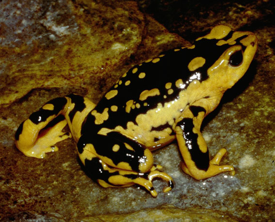 A drastic population decline, estimated to be more than 80% over the last ten years, has been inferred from the apparent disappearance of most of the population of Atelopus patazensis. Only two individuals of this species were located in extensive surveys in 2010. This decline in Atelopus patazensis might be due to chytridiomycosis and/or a combination of mining activities and the chytrid fungus. More research on this Critically Endangered species' population status, natural history and threats are urgently needed to ensure that proper conservation measures can be put in place. Photo by: Alessandro Catenazzi