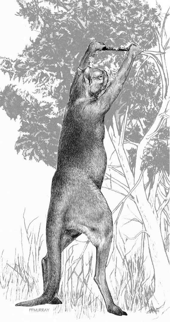 Sthenurus, an extinct browsing kangaroo. Drawing by Peter Murray. Image © Science/AAAS.