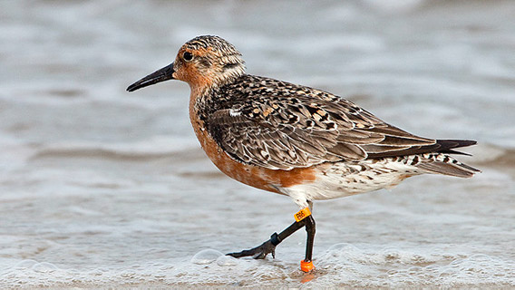 B95, the remarkable rufus red knot who has flown from the Earth to the moon in terms of distance. Photo by: Jan Van de Kam.