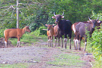 Photo from Gardner's chance encounter with banteng herd. Photo by: Penny Gardner.