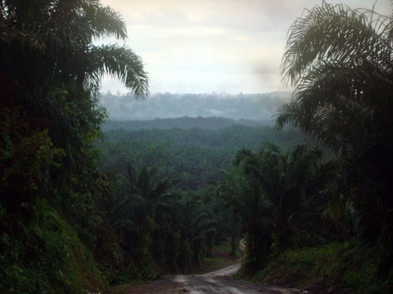 On the road to Tabin Wildlife Reserve through 26 kilometers of oil palm plantations. Tabin is in the far distance. Photo by: Penny Gardner.