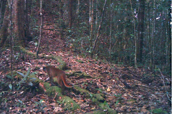 The elusive bay cat, taken by motion-triggered camera-trap in the Kelabit Highlands of Sarawak, Malaysian Borneo. Copyright: J. Brodie & A. Giordano.