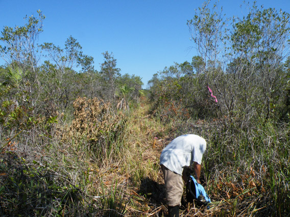 Bog vegetation before the oil fire in Sarstoon Temash National Park. Photo by: Robin Oisín Llewellyn.
