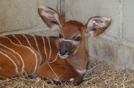 Baby bongo. Photo courtesy of ZSL Whipsande Zoo.