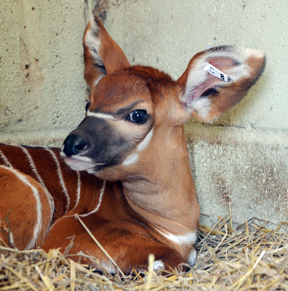 Animal picture of the day: a baby bongo