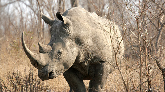 A white rhinoceros (Ceratotherium simum) roaming Kruger, which is also home to the more endangered black rhinoceros. Photo by: Bigstock.