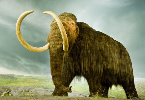 Woolly mammoth recreation in a museum