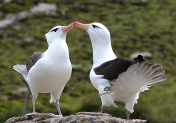 Un par de albatros de ceja negra en el Mar de Patagonia. Son muertos en masa por redes de arrastre y pesca con líneas largas, esta especie está registrada como Amenazada por la Lista Roja de UICN. Foto por: Jim Large.