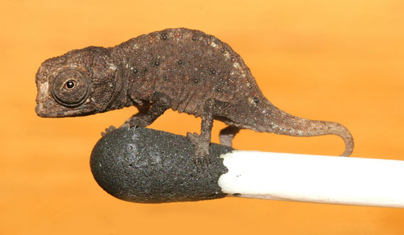 New species of super tiny chameleon from Madagascar: Juvenile Brookesia micra on match.