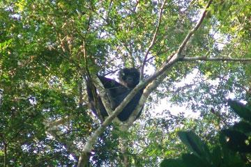 Wild bonobo at Etate. Photo by: Zoological Society of Milwaukee (ZSM).