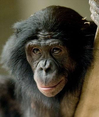 Bonobo. Photo by: Richard Brodzeller.