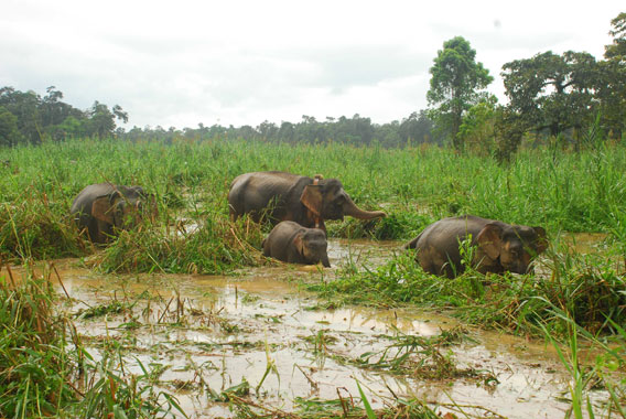 Putut (center) and her family, after being collared in October 2011. Photo courtesy of Benoit Goossens.