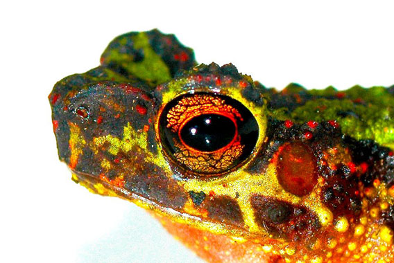 Not seen since 1924 and never photographed: an adult female Borneo Rainbow Toad, also referred to as Sambas Stream Toad (Ansonia latidisca). Photo © Dr. Indraneil Das.