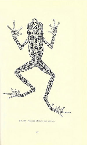 Sketch of the Bornean rainbow toad. Prior to Dr. Das's rediscovery, this was the only image depicting what the mysterious toad looked like. Reproduced in Inger (1966) © Fieldiana Zoology