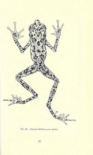 Zeichnung der Borneo Regenbogenkröte. Vor Dr. Das Wiederentdeckung war dies die einzige existierende Zeichnung von der mysteriösen Kröte. Abdruck in Inger (1966) © Fieldiana Zoology.