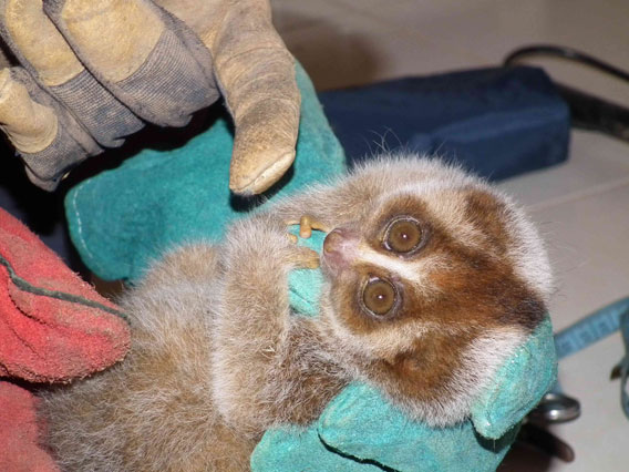 The slow loris in the hands of Baharudin wearing gloves to protect himself from a potential poisonous bite. Photo courtesy of the Danau Girang Field Centre (DGFC).