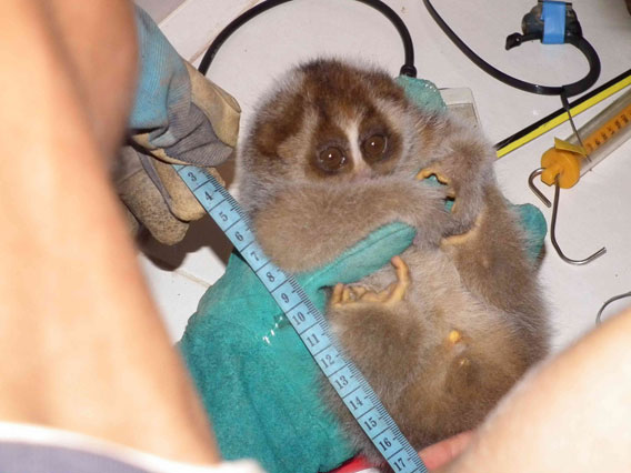 Taking measurements of the slow loris. Photo courtesy of the Danau Girang Field Centre (DGFC).