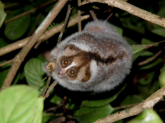 The slow loris before he was caught. It was named 'Krik' which is one of the words used to describe the noises they make, kind of a clicking chirping noise.