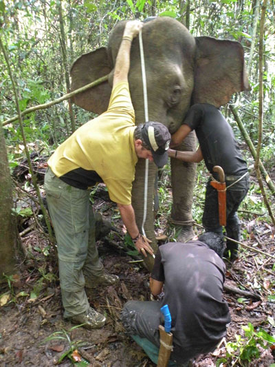 Dr Benoit Goossens and Wildlife Rescue Unit's member taking measurements of female, Jasmin. Photo courtesy of DGFC and HUTAN.