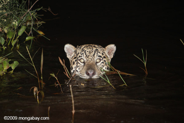 Jaguar emerging from the Pantanal. The Pantanal contains one of the world's largest populations of America's biggest cat. Photo by: Rhett A. Butler.