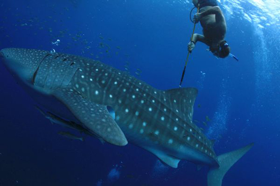 Brent Stewart tags a whale shark with a radio-frequency identification (RFID) tag in Indonesia. Photo: © CI/Mark Erdmann.