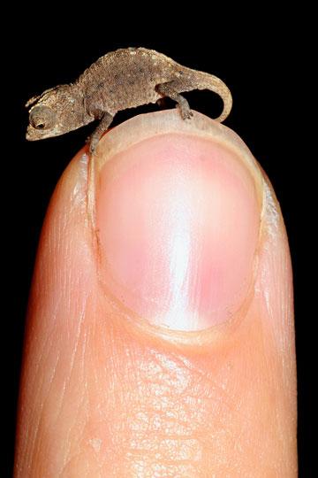 Juvenile Brookesia micra on a fingertip.