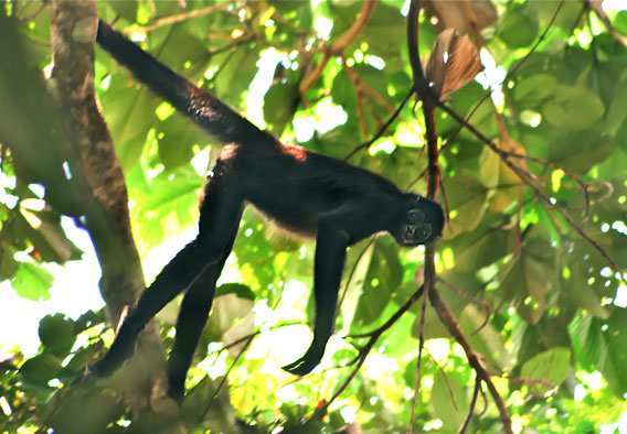 A brown-spider monkey in Selva de Florencia National Park. Photo courtesy of WCS.