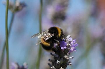 A buff-tailed bumblebee, Bombus terrestris. Photo © Science/AAAS.