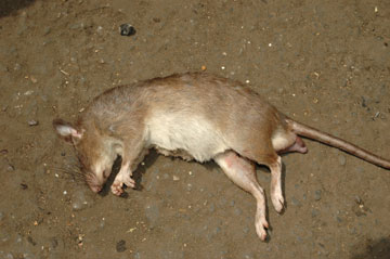 Giant rat for bushmeat in Cameroon. Photo by: Pierre-Michel Forget.