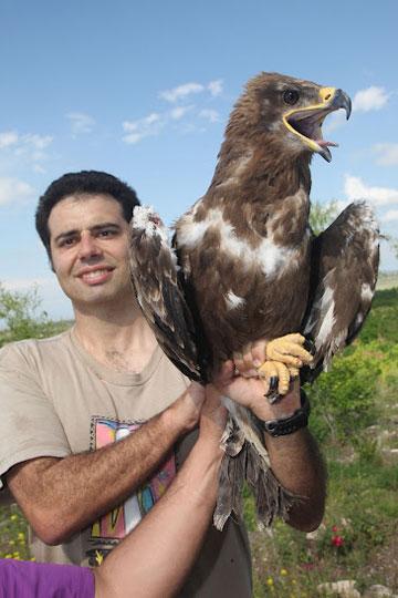 Cagan Sekercioglu releasing a rehabilitated Steppe Eagle in Igdir, Turkey. Photo courtesy of: Cagan Sekercioglu.