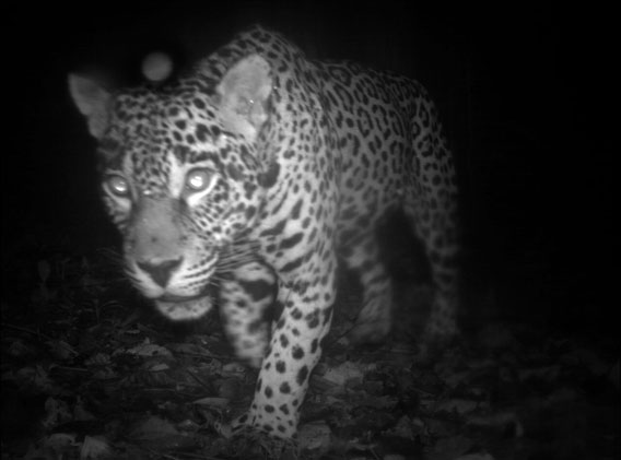 Central Suriname Nature Reserve, Suriname. A jaguar (Panthera Onca), a Near Threatened species. Of the sites researched, Suriname's site presented the highest number of species diversity. Photo courtesy of Conservation International Suriname, a member of the TEAM network.