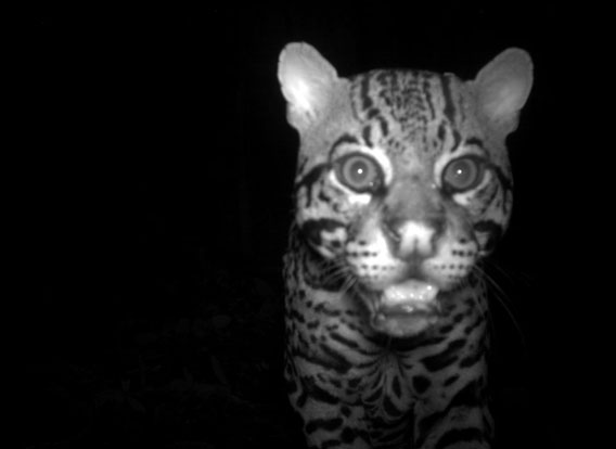 Ocelot (Leopardus pardalis) from Volcan Barva, Costa Rica. Courtesy of Organization for Tropical Studies, a member of the TEAM network.