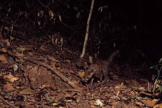 Gineta servalina de Lowe (Genetta servalina lowei), un pequeño carnívoro africano en las montañas Udzungwa de Tanzania. Cortesía del Museo de la Ciencia de Trento (Museo delle Scienze), miembro de la red TEAM.