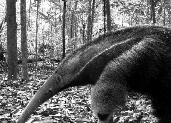 Oso hormiguero gigante (Myrmecophaga tridactyla), especie vulnerable registrada en Manaos, Brasil. El estudio encontró que las poblaciones de animales insectívoros, como este hormiguero, son las primeras en verse afectadas por la pérdida de hábitat. Cortesía del Instituto Nacional de Investigaciones de la Amazonía (Instituto Nacional de Pesquisas da Amazonia), miembro de la red TEAM.
