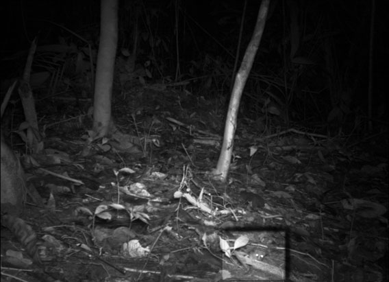 Look hard on the right bottom and you'll see Linnaeus's mouse opposum (Marmosa murina) in the Central Suriname Nature Reserve. This was the smallest animal photographed in the study. Body length is approximately 4-5 inches with a tail of 5-8 inches. Photo courtesy of Conservation International Suriname, a member of the TEAM network.