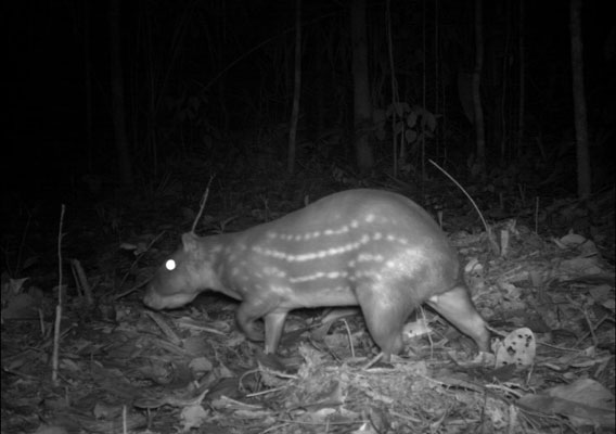 Lowland paca (Cuniculus paca) in Manaus, Brazil. Courtesy of Instituto Nacional de Pesquisas da Amazonia, a member of the TEAM network.