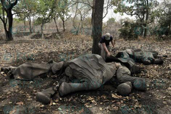 Massacres en série Photo de : © IFAW/J. Landry