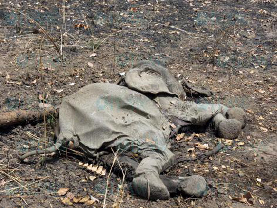 Elephant killed by poachers in Cameroon's Bouba Ndjida National Park. Photo by: © IFAW/J. Landry.