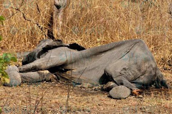 Éléphant tué par des braconniers dans le parc national camerounais de Bouba Ndjida Photo de : © IFAW/A. Ndoumbe
