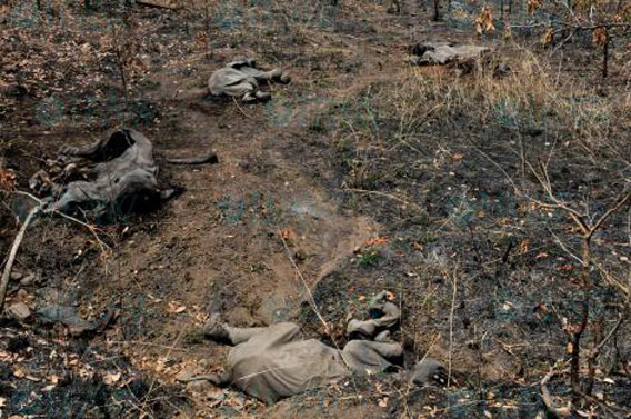 Il est probable que des centaines d'éléphants ont été tués pour leur ivoire pendant les dernières semaines dans le parc.  Photo de : © IFAW/J. Landry