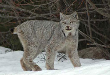 Population declines have pushed the Canada lynx (<i>Lynx canadensis</i>) onto the US Endangered Species Act.