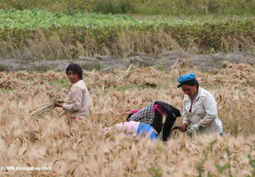 Tibetans working in wheat field in China. Photo by: Rhett A. Butler.
