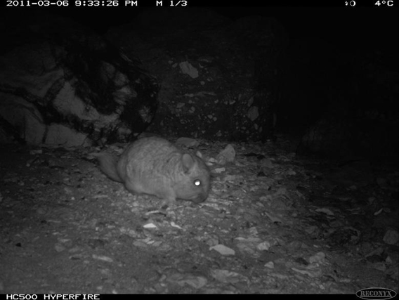 Scientists have discovered new colonies of Critically Endangered short-tailed chinchilla in Chile. Photo by: Martin Espinosa.