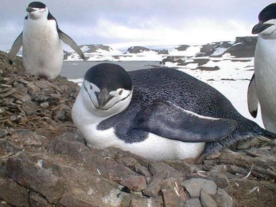 Chinstrap penguins. Photo by: NOAA/Mike Goebel..