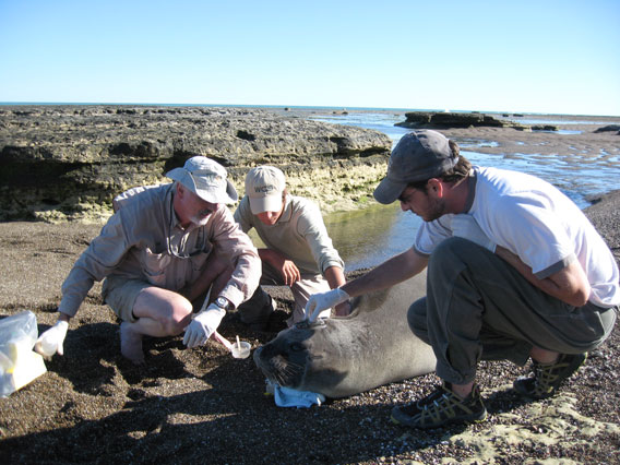Campagna and team tag elephant seal. Photo by: Victoria Zavattieri.